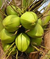 organic young coconuts