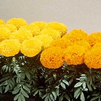 Marigold Plant Extracts