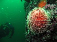 Live Red Sea Urchin