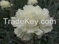 CARNATIONS AND MINICARNATIONS FROM COLOMBIA