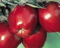 Fresh Apples - (Red Delicious, Empire, *****)