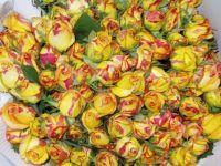 Kunming Yunnan China cut rose