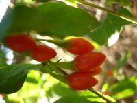 Wolfberry, Goji Berry