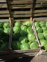 fresh spring cabbage