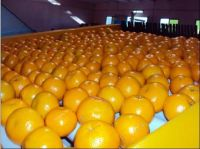 Kinnow Oranges