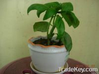 sweet basil potting plant