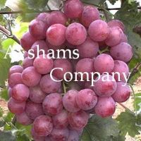 Egyptian Fresh Grapes