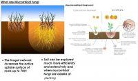 Mycorrhyzal fungi