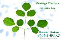 Moringa Oleifera Raw, Semi-Finished and Fished Materials