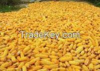 Yellow Corn, Yellow Maize