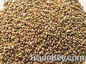 Alfalfa Seed