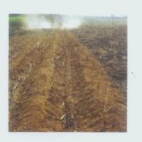 Sugarcane cultivator