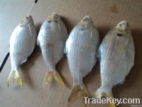 FROZEN WHITE SHADE FISH