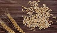 Barley feed grain