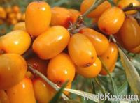 HIPPOPHAES SEA BUCKTHORN OIL