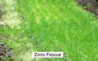 Zorro Fescue Seeds