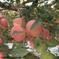 Fresh Apple, Red FUJI Apple