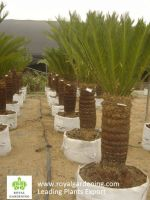 Lucky Bamboo-Dracaena Sanderiana