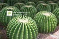 Cactus-Cacti