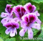 Origin of geranium oil