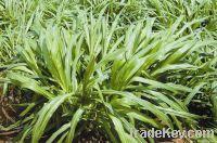 Hybrid Pennisetum Grass seed