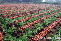 2011 fresh carrot