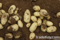 Fresh Good Quality Organic Potatoes