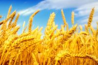 Wheat, Barley, Buckwheat, Yellow and White Corn