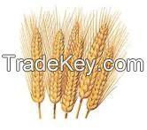 Indian Milling wheat from madhya pradesh