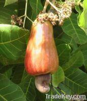 Raw Cashew Nuts & Roasted Cashew Nuts | Dried Fruits | W240 Cashew Nuts Suppliers | W320 Cashew Nut Exporters | Buy WW230 Cashew Nut