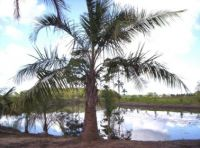 Butias and other palm trees from Brazil