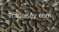 Jatropha seeds (Jatropha curcus )