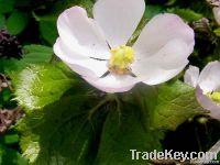 Podophyllotoxin (Plant Extract)