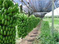 Green Cavendish Banana Green Cavendish Banana