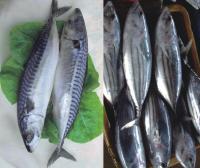 Canned sardine Mackerel