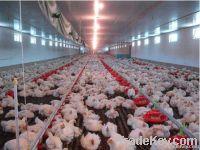 automatic chicken breeding feeders
