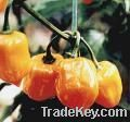 Dried Golden Habanero Peppers