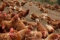 Best Quality Broilers And Layers