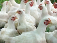 Best Quality Broilers And Layers Chickens