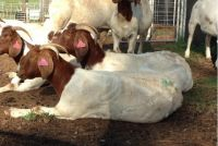Pure Breed LIVE Boer Goats / 100% Full Blood Boer Goats, / Live Sheep, Cattle, Lambs and Alive Cows