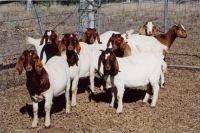 Pure Breed LIVE Boer Goats