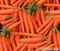 Red Fresh Carrots