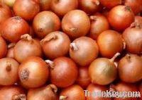 Egyptian onions 2012