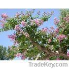 corosolic acid1-98% banaba leaf extract