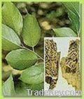 Eucommia Leaf Extract chlorogenic acid 5-98%