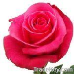 Roses Fresh Cut
