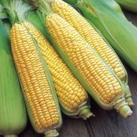 Wholesale Suppliers of Yellow Corn/ corn