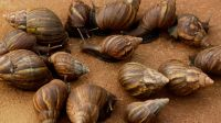 2021 Sales Cheapest price arrival Fresh African Giant Snails/Frozen, Dried & Alive Snails, GIANT AFRICAN SNAILS Discount price
