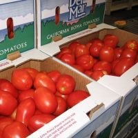 Best quality Fresh Tomatoes for sales