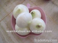 Fresh peeled white onion of 2012